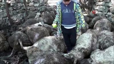 Kurtlar sürüye saldırdı, 31 koyun telef oldu