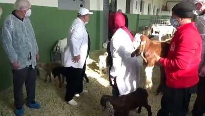 KAHRAMANMARAŞ - Verimli sütü olan keçi elde etmek üzere melez çalışması yapılıyor