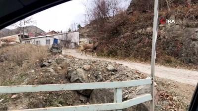 - Yaban keçileri köylere kadar indi