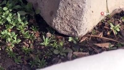 bal arisi -  Şırnak'ta kara saplanan arılar, arıcıların avuçlarında hayat buluyor