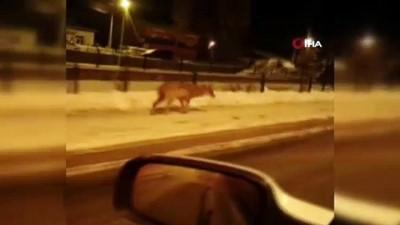 Aç kalan kurtlar Sarıkamış'a indi