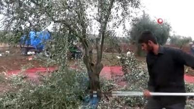 Kilis'te zeytin hasadı devam ediyor