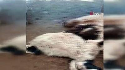 Tunceli'de bir ağılda 27 koyun izdihamdan telef oldu