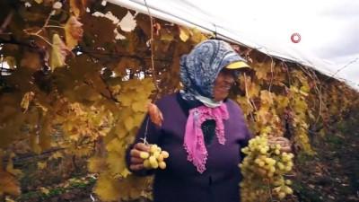 demirli -  - Manisa'da kış ayında üzüm hasadı
