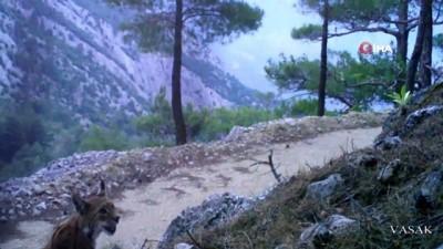 vasaklar -  Karakulak'tan fotokapan selamı