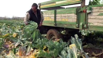 dis sagligi -  Bafra Ovası'nda karnabahar hasadı başladı