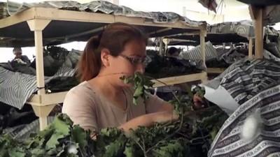 İpek böceği yetiştiricilerinde ilk hasat heyecanı - İZMİR