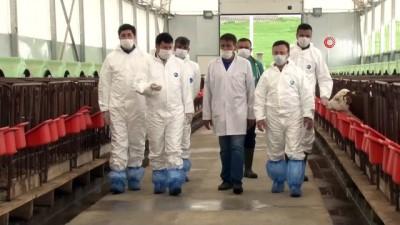 Ankara'da büyükbaş hayvancılık işletmesindeki aşılama ve küpeleme işlemleri incelendi