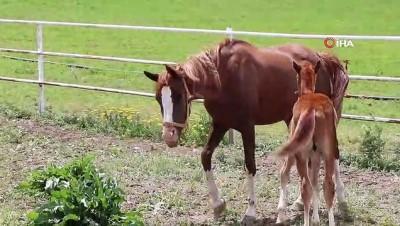 Yarışların efsane atları Erzincan'da yetişiyor
