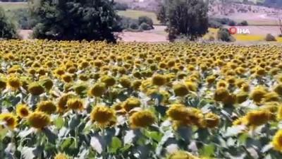 Kadınlar azmetti, 1,5 milyon metrekarelik boş arazi ayçiçek tarlasına döndü