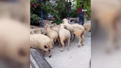 Kurban Bayramı öncesi küçükbaş hayvan çalan iki kişi yakalandı