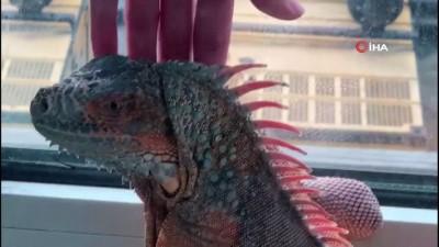 Üsküdar'da bulunan iguana belediyenin neşe kaynağı oldu