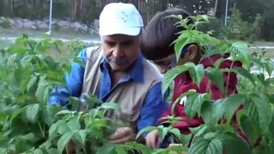 Kars'ta 2 bin 500 rakımda ahududu toplanıyor