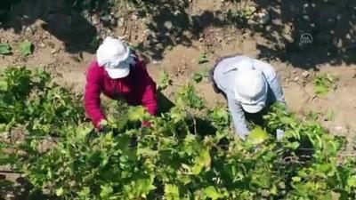 Sofralık üzüm ihracatında hedef 180 milyon dolar - MANİSA