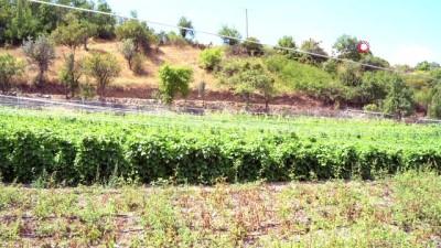 """Bolu'da, 2 bin 300 metrekarelik alana """"Ata tohumları"""" ekildi"""