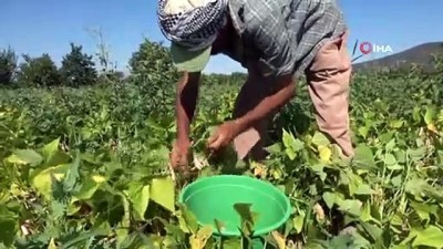 İsmini köyünden alıyor, yılda 4 bin ton üretilip milli ekonomiye katkı sağlıyor