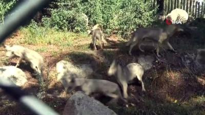 Bursa'da 4 yavru kurt anne sütünden kesilerek beslenmeye başladı