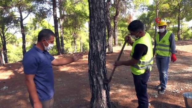 orman bakanligi -  Kilosu 700 TL'ye satılıyor...Reçine, orman köylüsünün yeni iş kapısı oldu