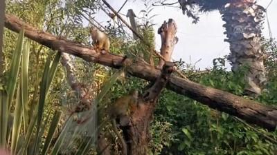 Hayvanat bahçesinden kaçan maymun elektrik akımına kapılınca yakalandı - KOCAELİ