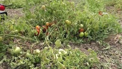 200 yıllık ıspanak ata tohumları toprakla buluştu