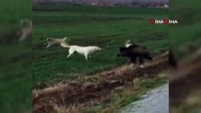 - Domuz ile köpekler arasındaki amansız mücadele böyle görüntülendi