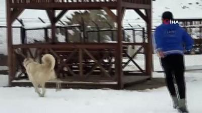 - Özlemle beklenen kara en çok sevinen onlar oldu...Kangalların kar sevinci