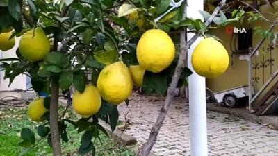 ali il -  Yılın 12 ayı meyve veren ağaçta, kiloluk limonlar yetişiyor
