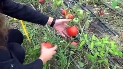 - Seralarda tarımın geliştirilmesi için ıslah çalışmaları