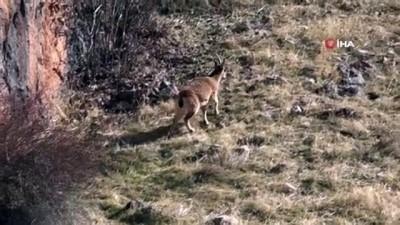 Dağda aç kalan yaban keçileri vadiye indi
