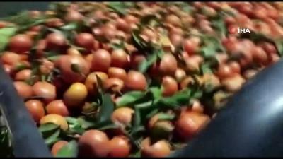 Bahçeden 15 ton mandalina çalan hırsızlar yakalandı