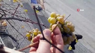 Kış ortasında asma üzüm verdi