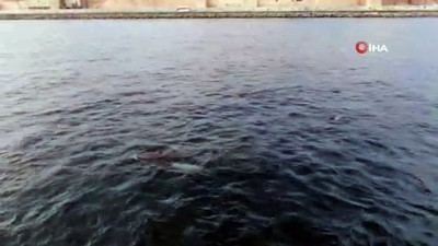 deniz trafigi -  İstanbul Boğazı'nda yunuslardan görsel şölen