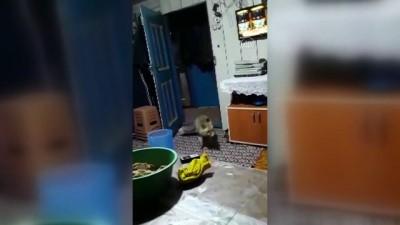 GÜMÜŞHANE - Köylüler, aç kalıp evlere giren tilkiyi elleriyle besliyor