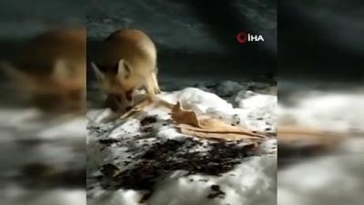 hayvan -  Aç kalan tilkiyi elleriyle besledi
