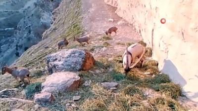 Doğaya bırakılan yemleri yiyen keçiler fotokapan ile görüntülendi