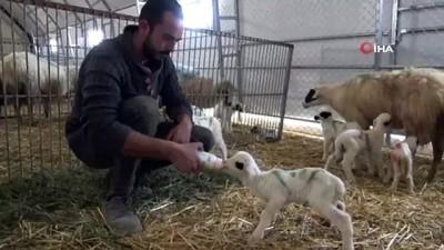 kabiliyet -  Yerli ve milli koyunlar dördüz yavruladı