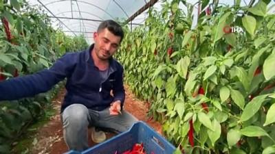 """yilbasi -  Antalya, Güneydoğu illerine """"Şili biberi"""" gönderiyor"""