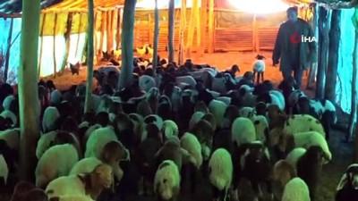 hayvan -  Muş'ta 650 bin koyun ve keçinin doğumu devam ediyor