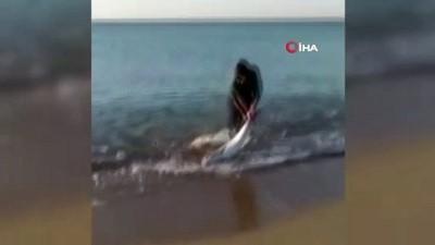 olta -  Oltası kopmasın diye 7 kiloluk balığı sürüyerek getirdi