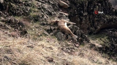 Tunceli'deki yaban keçisi ölümlerinin nedeni veba çıktı