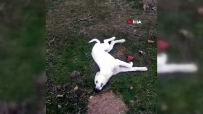 yavru kopekler -  Polatlı'da 22 köpek zehirlenerek öldürüldü