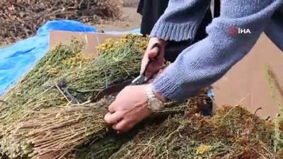 Kadınların ürettiği organik sarı kantaron bitkileri yurtdışına ihraç edilmeye başlandı