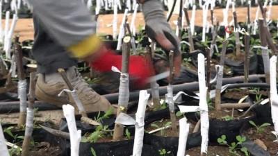 Bingöl'de ilk kez ceviz ve badem aşılı fidan üretimine geçildi