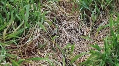 KIRKLARELİ - Trakya'da 'zirai don' hububat ekili bazı arazilerde ürünlere zarar verdi