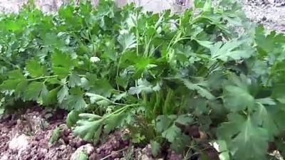 ORDU - Dağıtılan kışlık sebze fidelerinden 2 milyon liralık gelir sağlandı