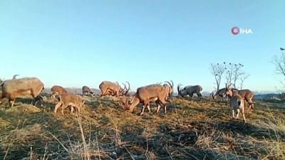 kis mevsimi -   Popülasyonu artan dağ keçileri foto kapanla böyle görüntülendi