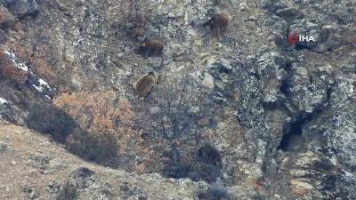 Gümüşhane'de kış uykusundan uyanan ayılar böyle görüntülendi