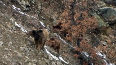 GÜMÜŞHANE - Kış uykusundan anne ayı ve 3 yavrusu kameraya yansıdı