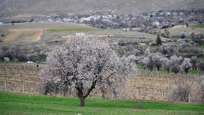 TUNCELİ - Baharın müjdecisi badem ağaçları çiçek açtı