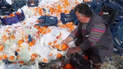 Tır devrildi.. Tonlarca portakal kar içerisinden tek tek toplandı